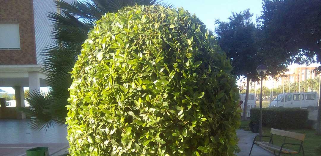 Poda de arbustos zoe mantenimiento - Poda del laurel ...