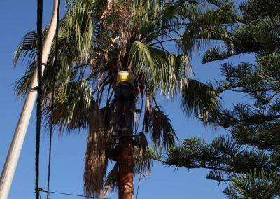 Poda y tala de palmera en Benicàssim