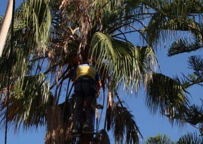 Poda y tala de palmera