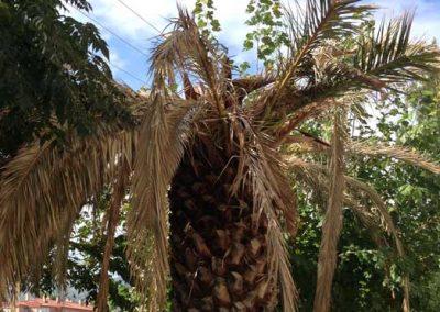Tala de palmera. Ataque de picudo